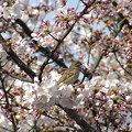 Photos: 清水観音堂前の桜と雀2003.4.1_521