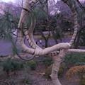 月の松と桜の根555