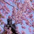 枝垂れ桜と鬼瓦659tc