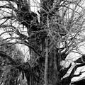 Photos: 古樹