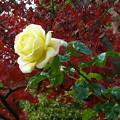 バラ花壇、散歩途中にて