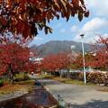 桜の綺麗な紅葉1