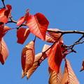 桜の綺麗な紅葉4