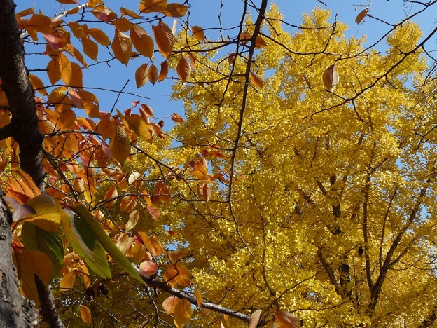 Photos: 散歩道、黄色に染まった銀杏