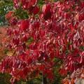 Photos: 散歩道、真っ赤に染まったハナミズキ