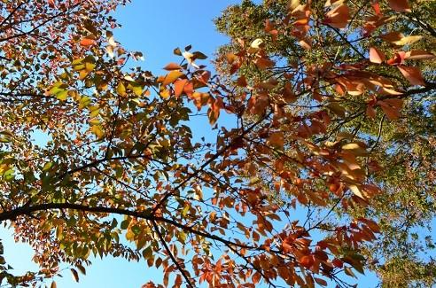 写真: 染井吉野の紅葉 2