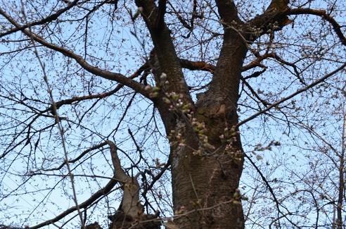 写真: 開花宣言が出ました 2
