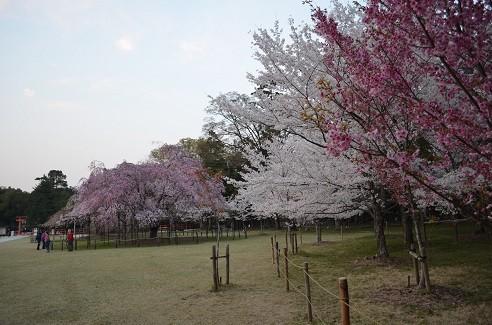 写真: 20140408 上賀茂神社
