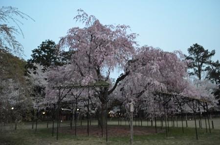 20140408 斎王桜