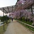写真: 20140409 鴨川 3