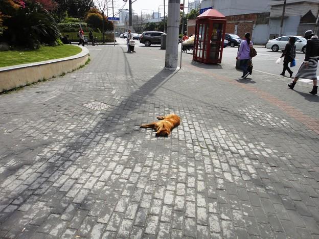 交差点前 寝る犬