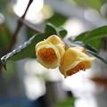 Photos: Camelia chrysantha