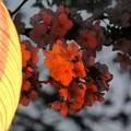 Photos: 夕桜-赤提灯に染まって