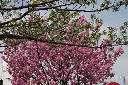 山手桜とチューリップ6223