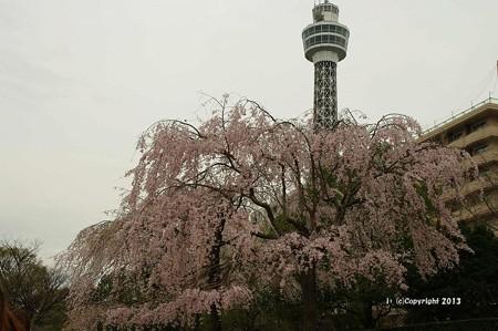 山手桜とチューリップ6316