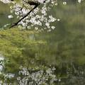 満開ー池面に映る姿