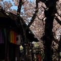 雨宝院 観喜桜