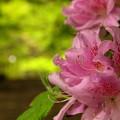 新緑&石楠花