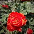 薔薇の色香に