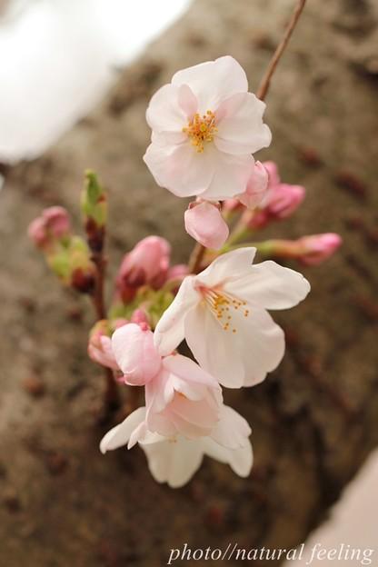 優しい春が来たよ^^4まだ咲き始め~