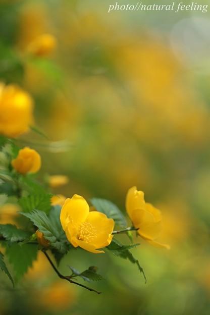 ヤマブキ満開の黄色の中で咲く2