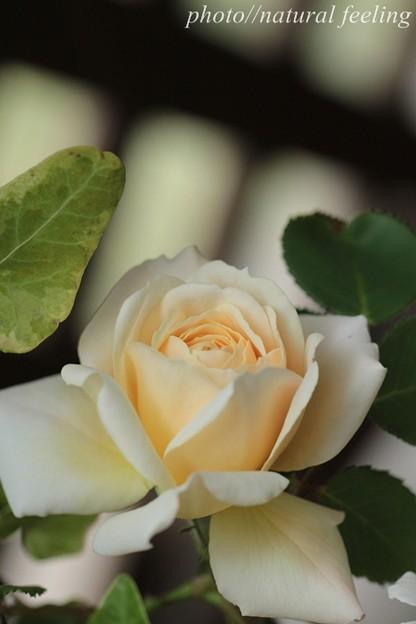 クロッカスローズが咲き始めたよ^^