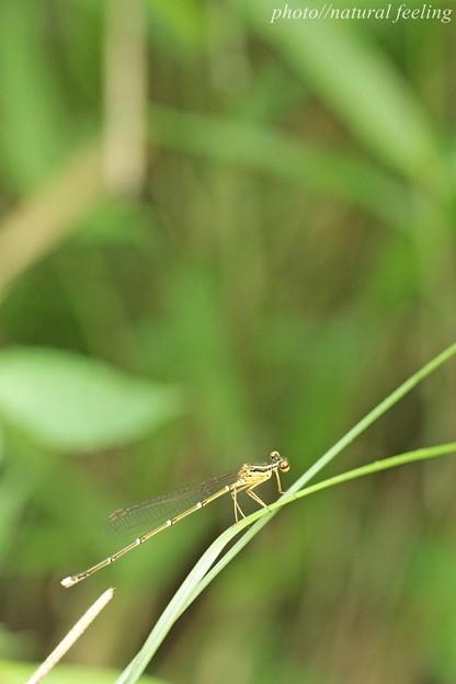 糸トンボキラキラ^^