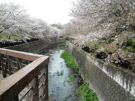 祖師谷公園-03仙川_鞍橋からせきれい橋(左:ワシントン桜)