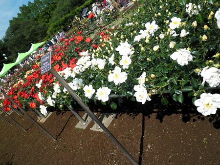 神代植物公園_ばら園-22