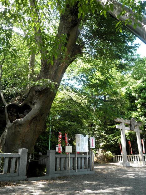 青渭神社(あおいじんじゃ)-02ケヤキ(樹齢ab700年)a_@heart