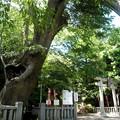 Photos: 青渭神社(あおいじんじゃ)-02ケヤキ(樹齢ab700年)a_@heart