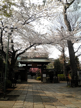 壽福寺-桜-01