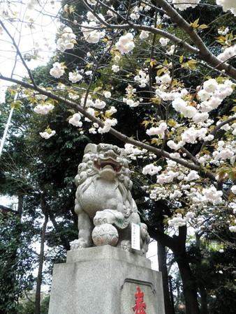 駒繋神社-八重桜-02c