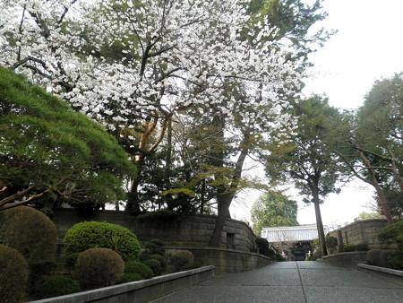 西澄寺-桜-01