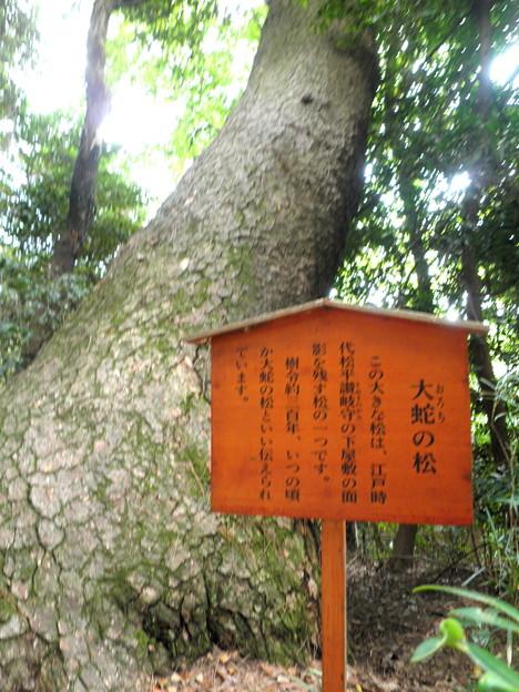 国立自然教育園(晩秋)-13大蛇(おろち)の松