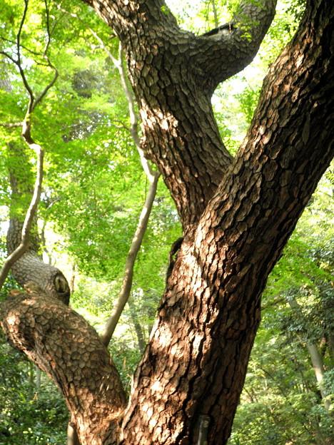 国立自然教育園(晩秋)-11物語の松