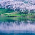 Photos: 桜と釣り人