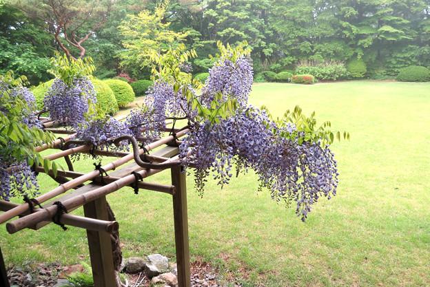 14_山楽 庭の藤棚