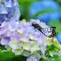 Photos: 紫陽花~トンボ
