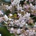 Photos: 桜~メジロ