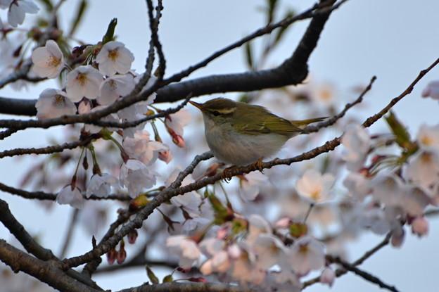 Photos: ムシクイ~桜2