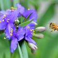 Photos: ツユクサ~蜜蜂