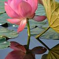 写真: 蓮咲き始め