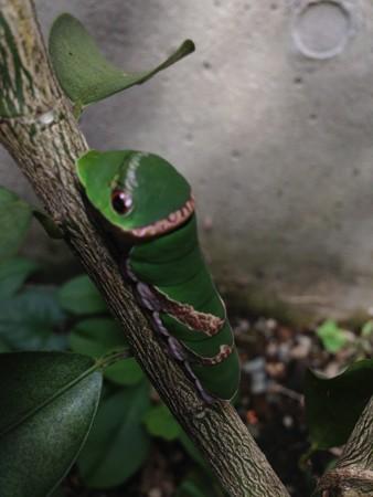 クロアゲハ幼虫1