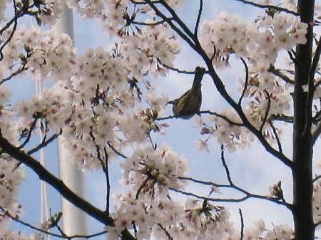 桜ついばむ