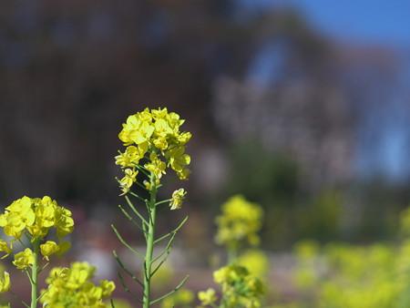 P1060598 鶴舞公園の菜の花その1