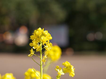 P1060599 鶴舞公園の菜の花その2