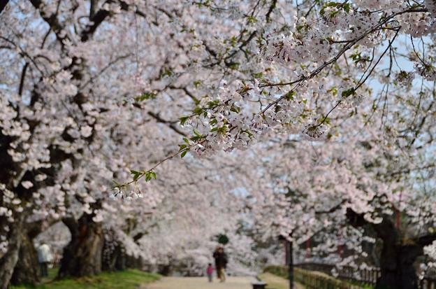 弘前公園・桜の頃 (6)