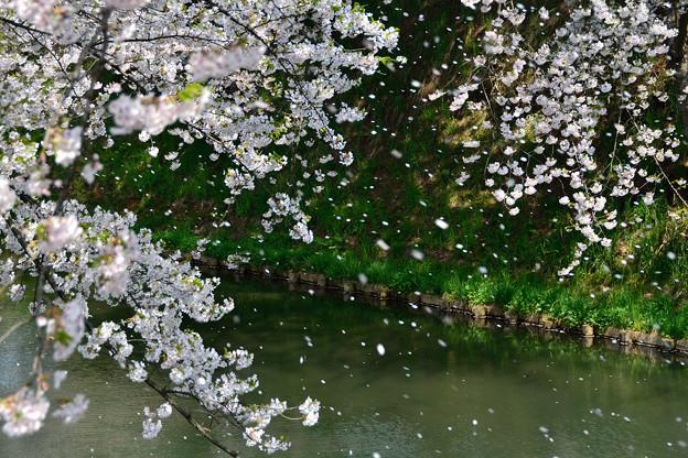 弘前公園・桜の頃 (12)