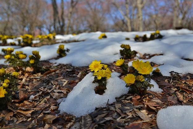 Photos: 雪解けに咲く福寿草